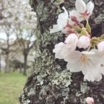 桜の季節に思うこと