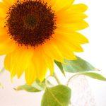 ヒマワリがすきな人もいればバラがすきなひともいる。上を見上げて焦るんではなく、自分がそこで輝けばいい。